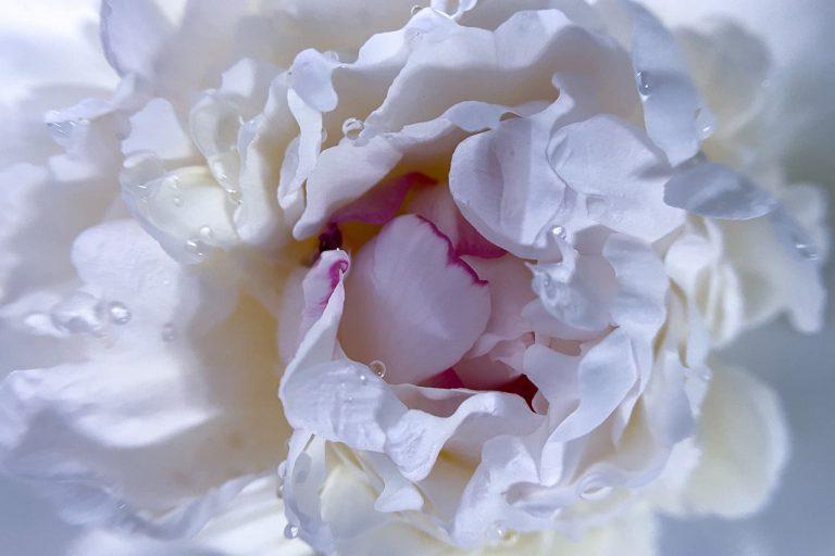 Weiße Pfingstrosenblüte Relais Chalet Wilhelmy